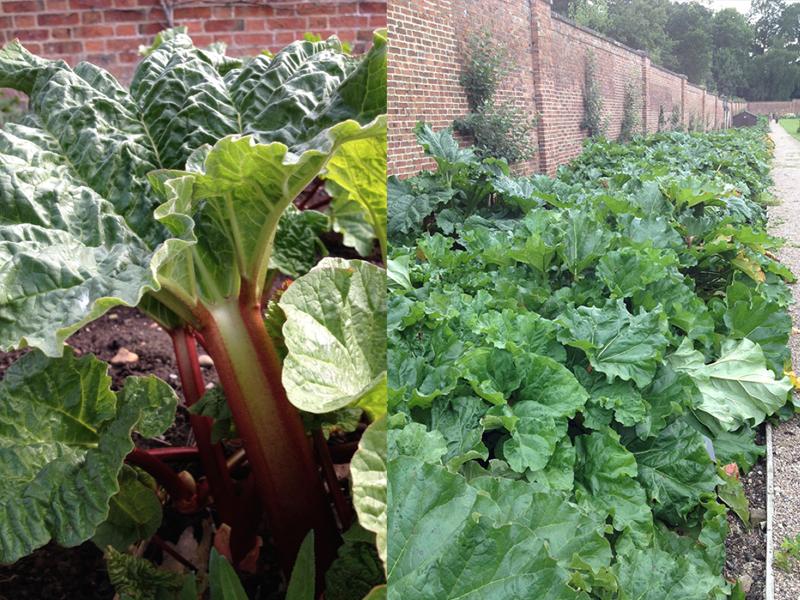 Rhubarb in the Walled Kitchen Garden